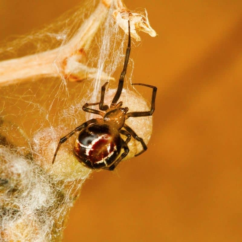 Comb footed spider