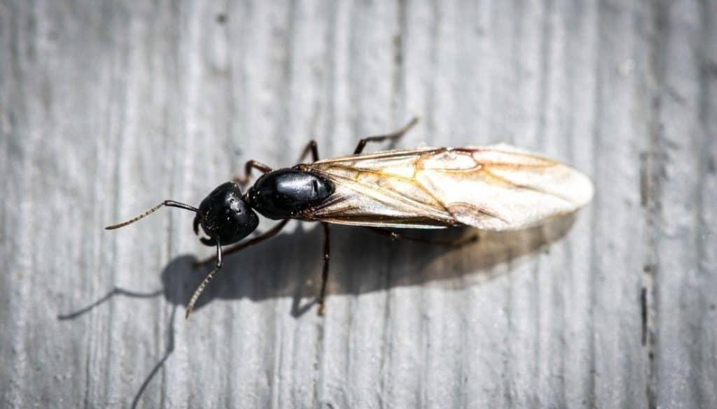 Flying ants on pool deck