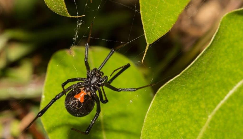 How to get rid of black widow spiders in yard garden