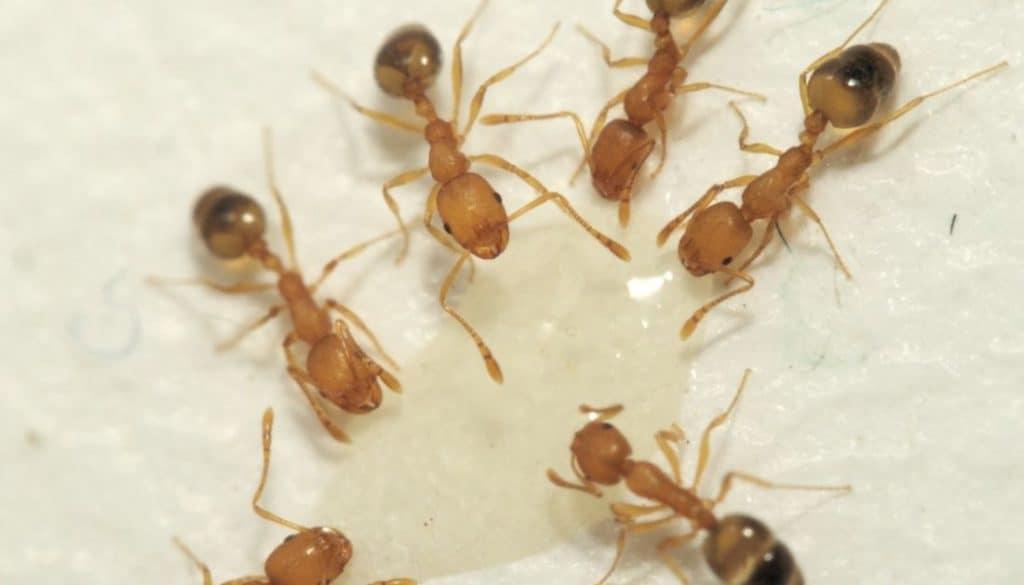 Pharaoh ants in dishwasher