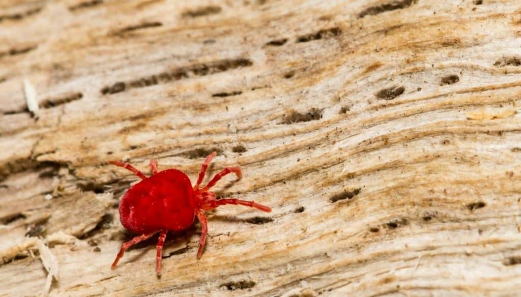 Red Microscopic Bugs That Bite Chiggers