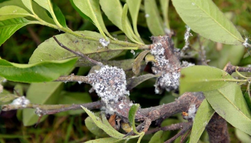 Tiny white bugs that look like dust - Woolly Aphid