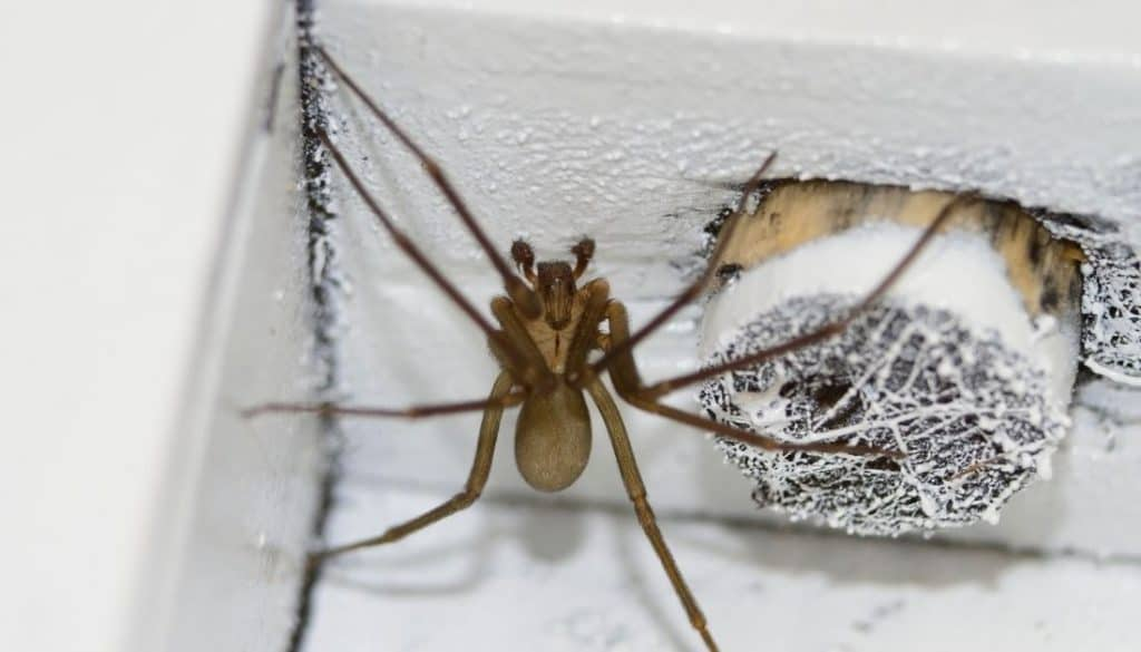 Where do brown recluse spider hide
