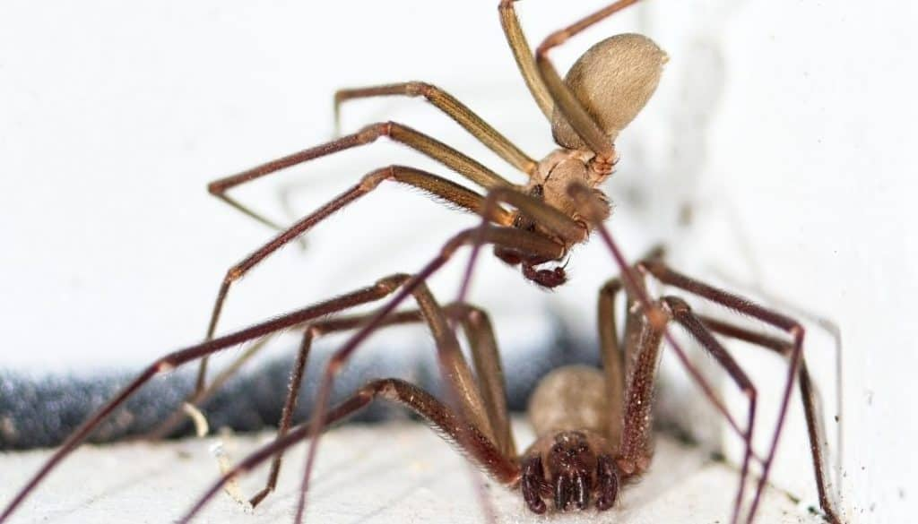 if you find one brown recluse spider are there more