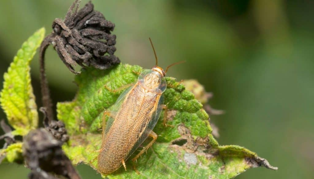 wood roach vs. cockroach