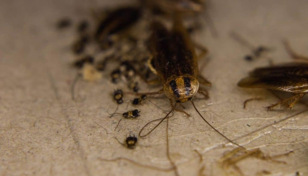 Adult roaches eat their nymphs