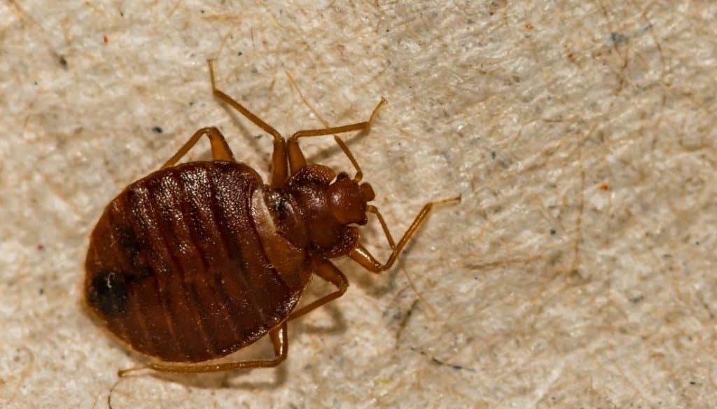 Do bed bugs like light