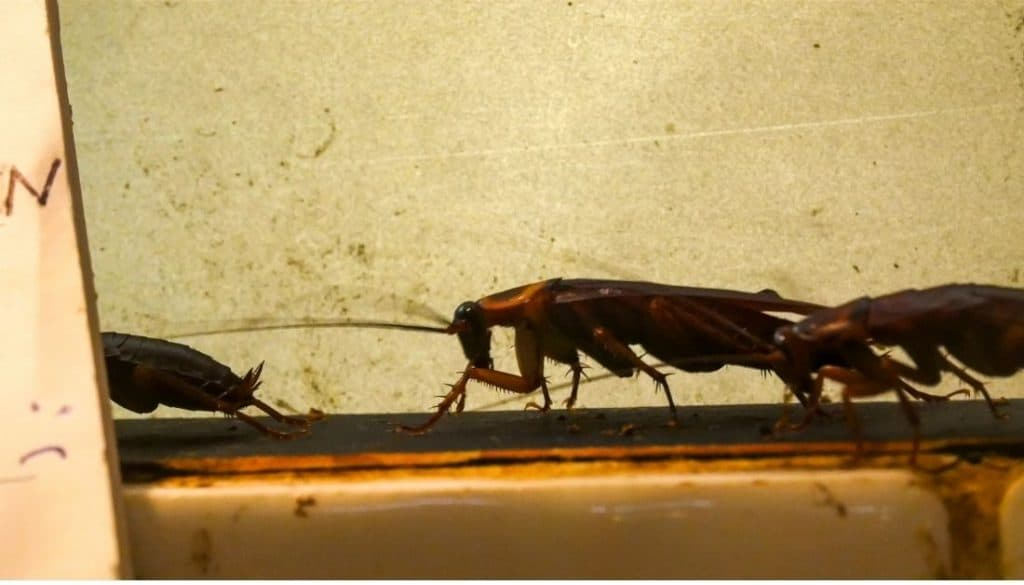 How to get rid of roaches in walls