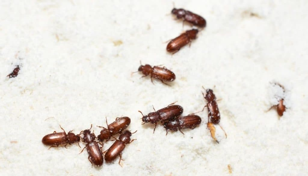 Little bugs in flour - Red Flour Beetle
