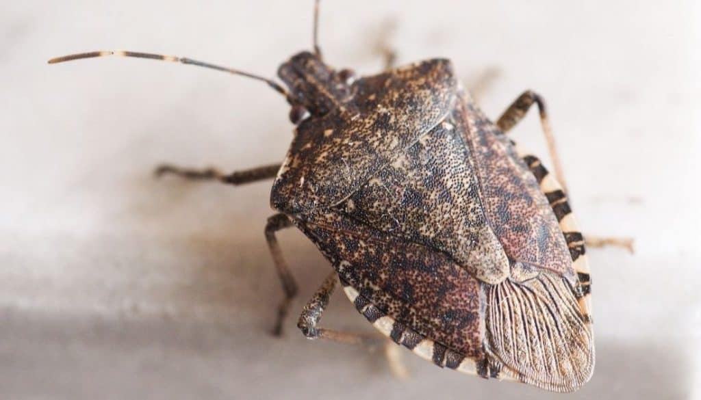 Small brown bugs in michigan homes stink bug