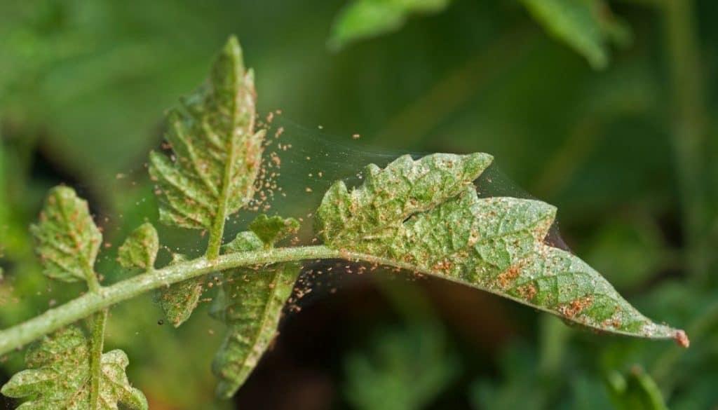 Spider mites at leaves undersides