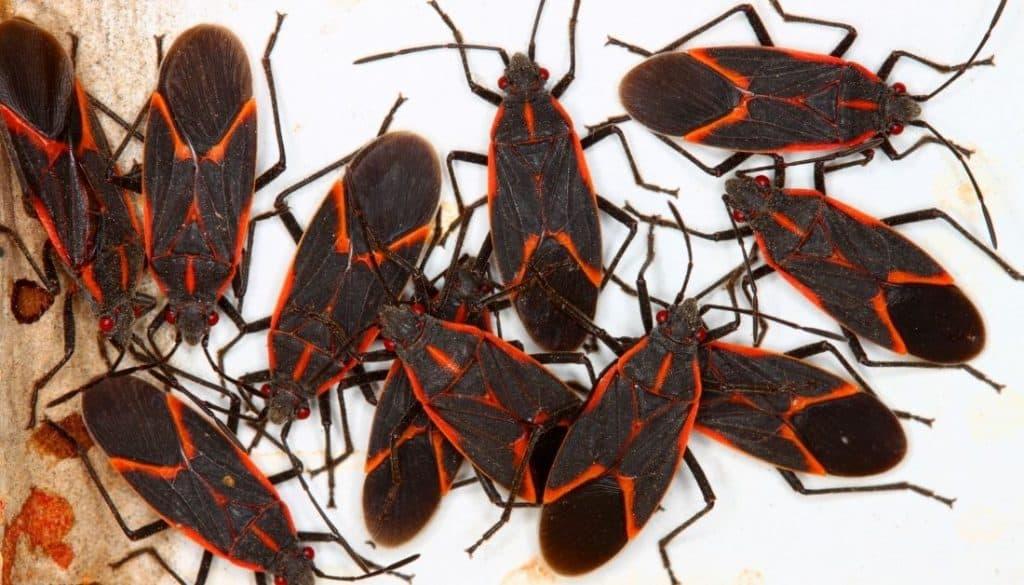 Tiny black bugs in Michigan homes Boxelder bugs
