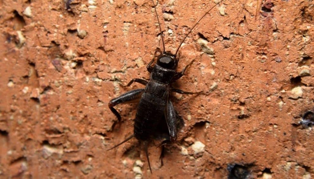 Tiny-black-bugs-in-the-basement-crickets