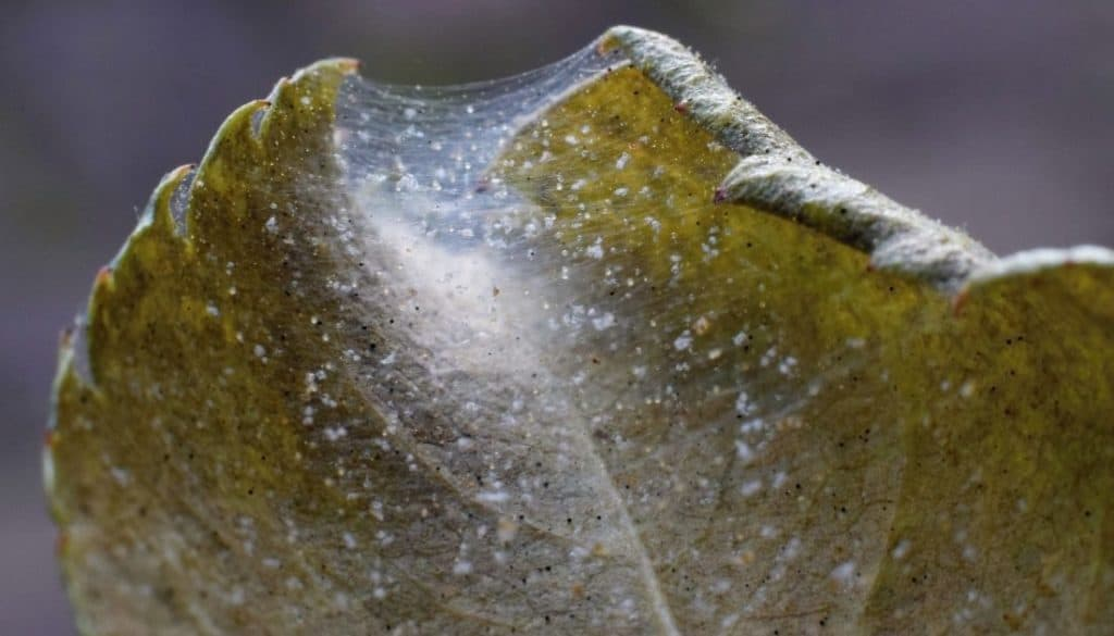 Web clusters of Spider Mites