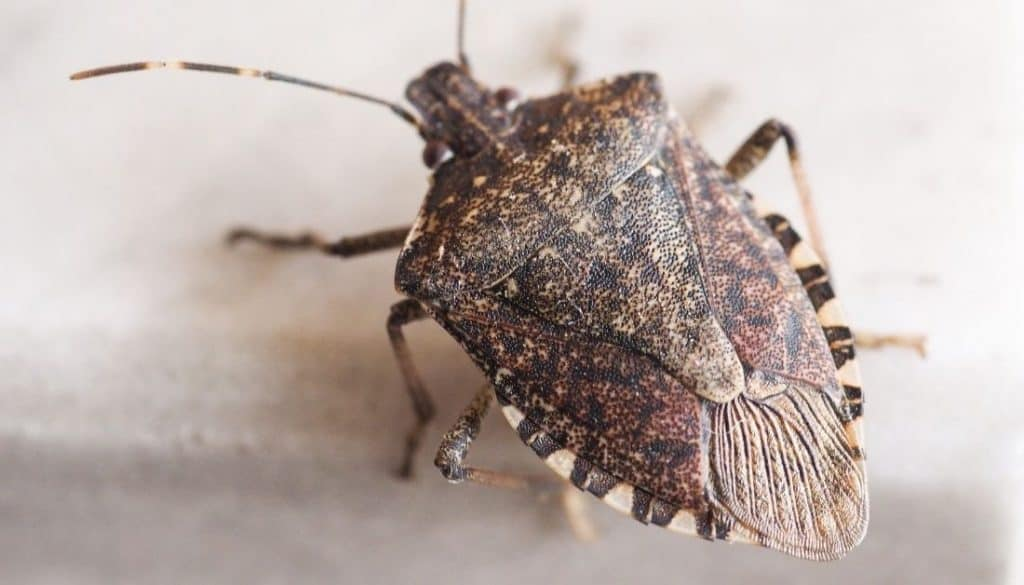 Brown marmorated stink bug- bugs that look like kissing bug
