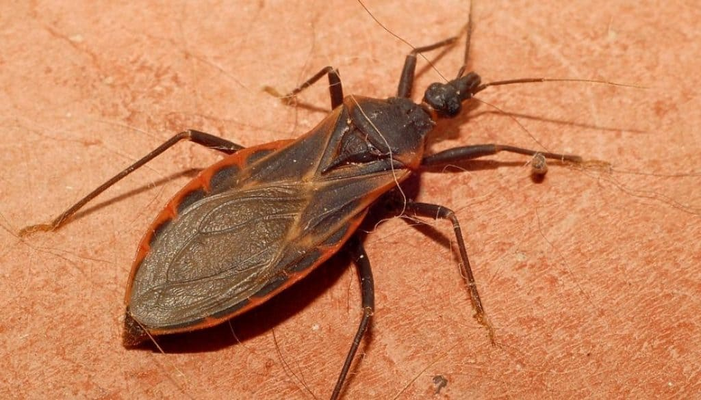 Bugs that look like kissing bugs