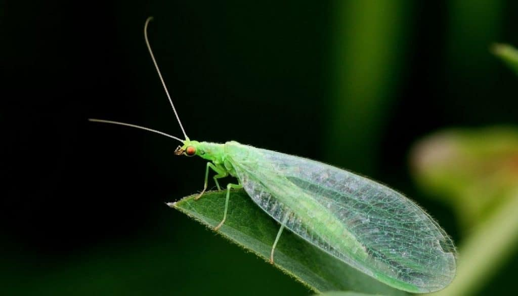 Green lacewing bugs that look like flying termites