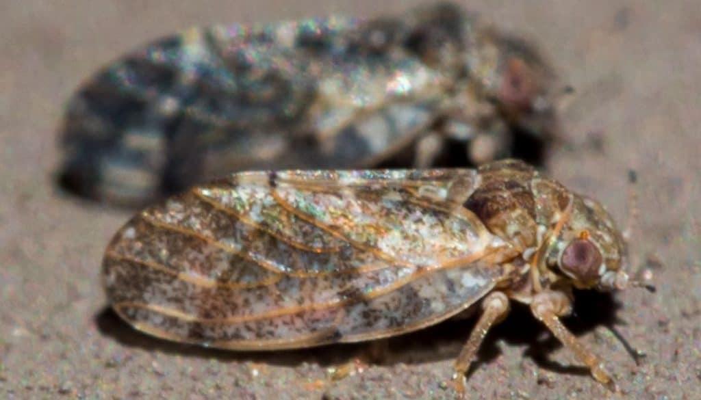 House Bugs In Texas Hackberry Psyllids