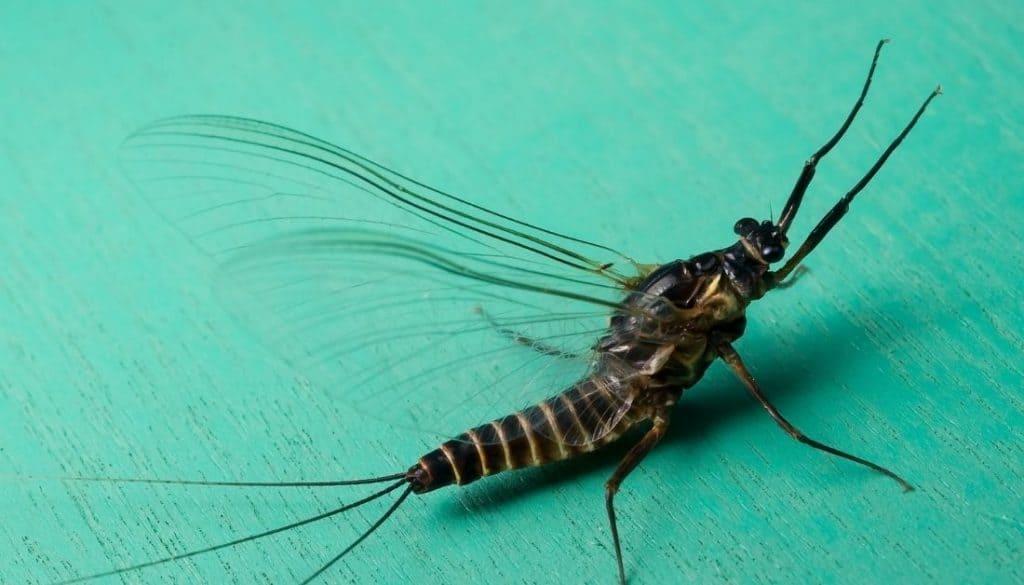 Mayfly bugs that look like flying termites