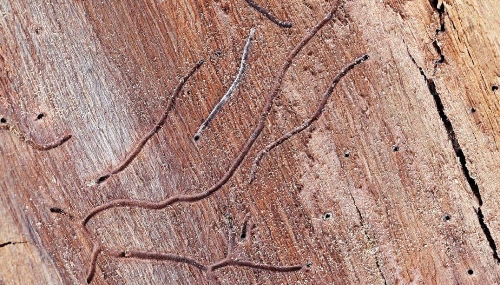 Signs of drywood termites in wooden walls