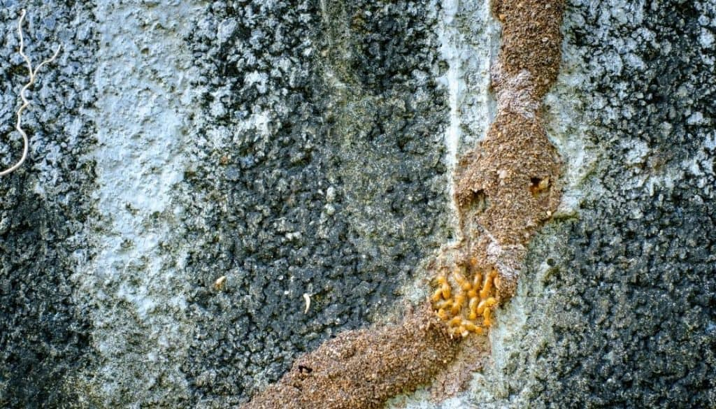 Signs of termites in walls