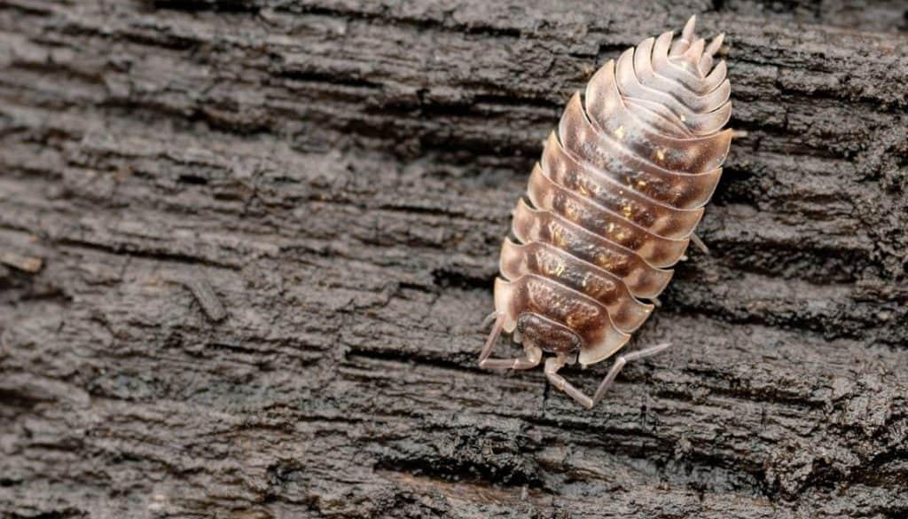 Sow bug Vs Pill bug