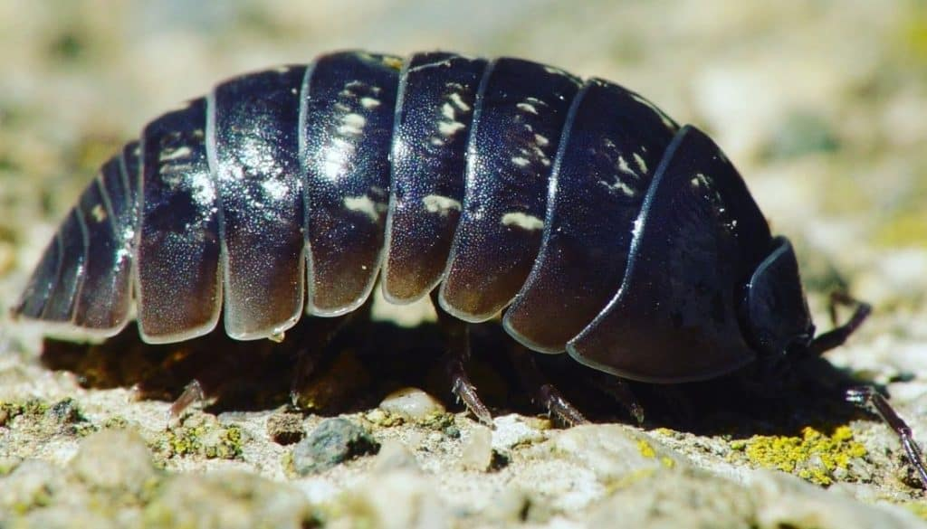 What are pill bugs