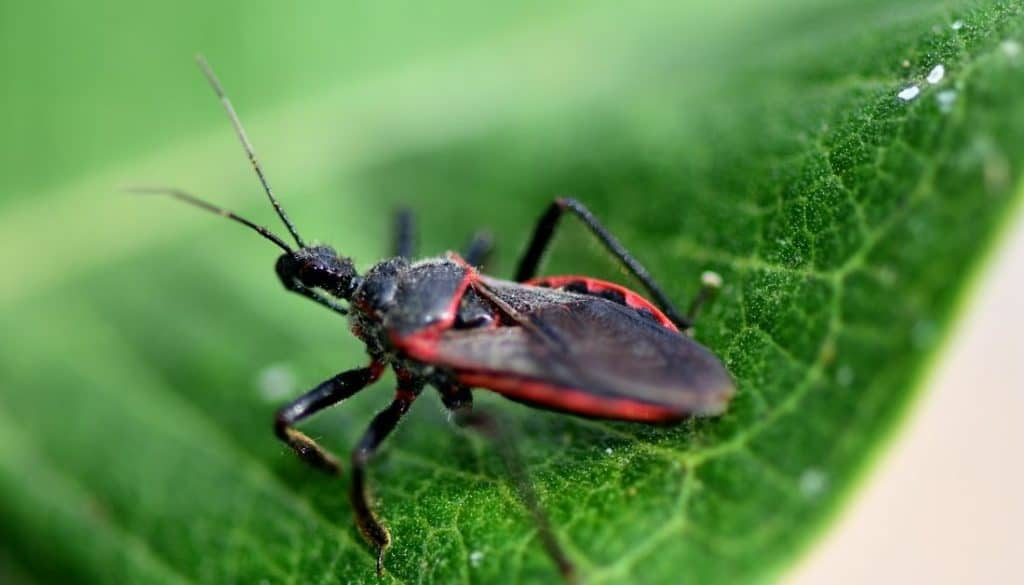 What attracts kissing bugs
