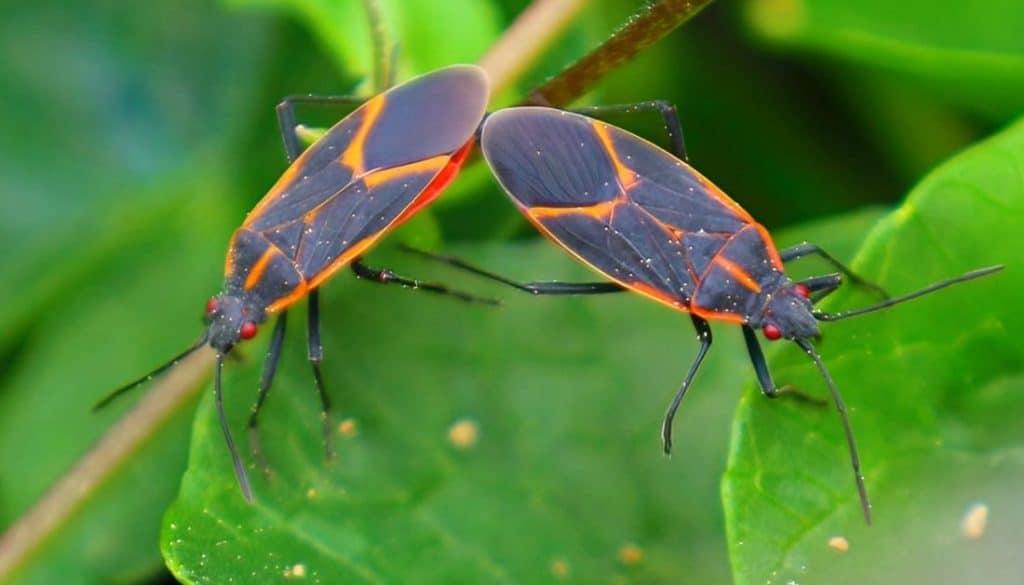 boxelder bug - bug that looks like kissing bug