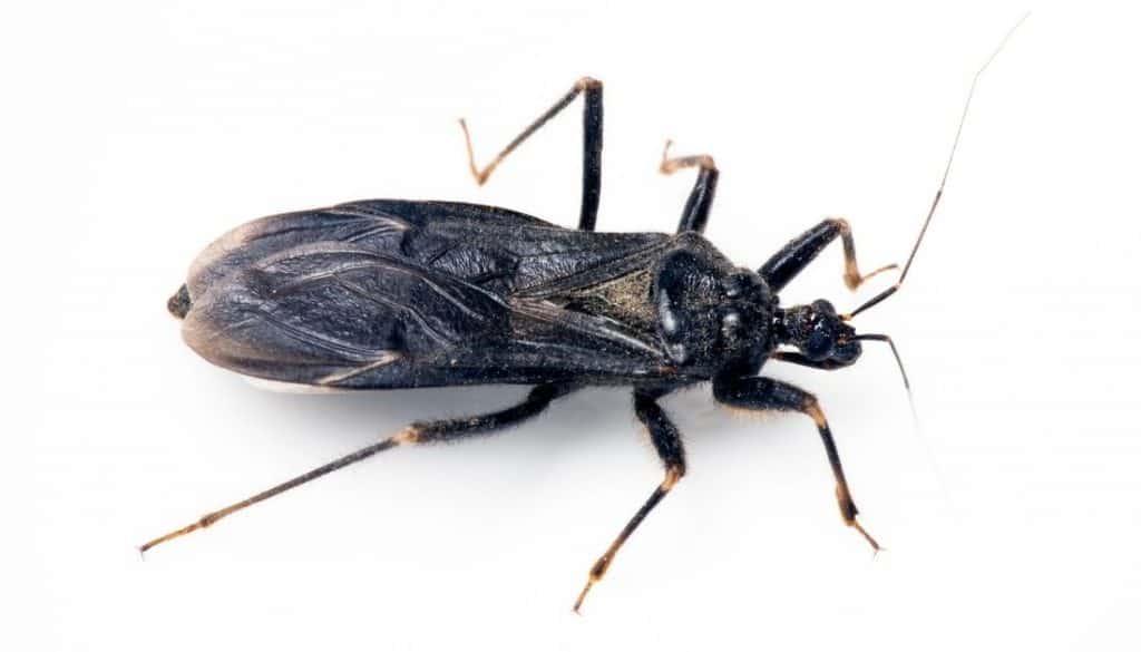masked hunter bug