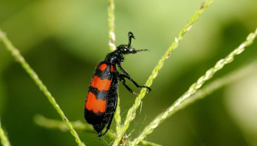 Blister beetles red and black bugs in Arizona