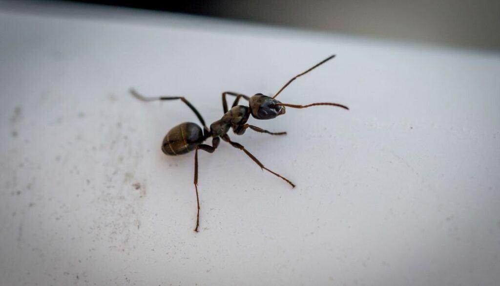 Carpenter ants - Tiny black bugs in houses near windows