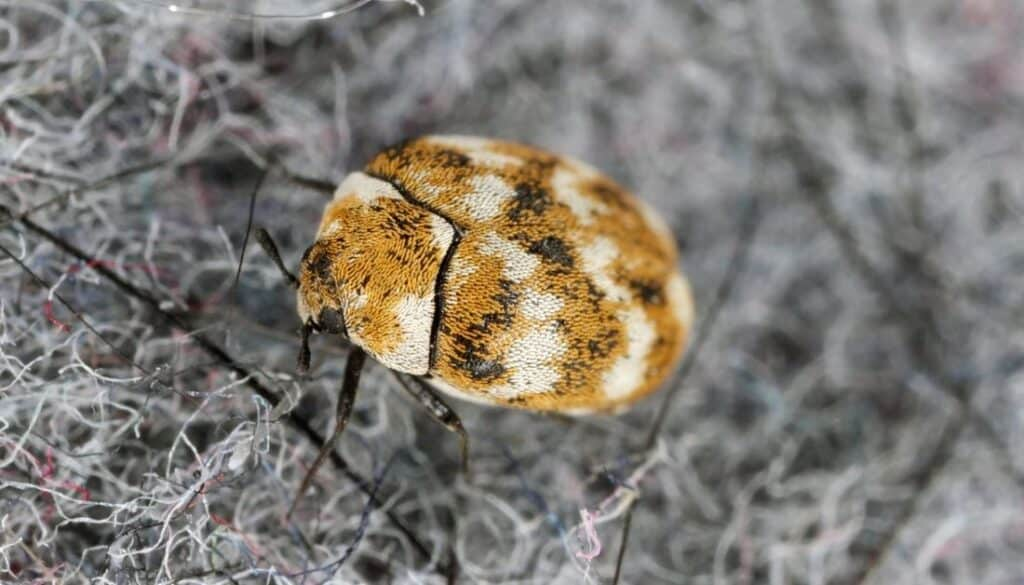Carpet beetle - Tiny black bugs in house near windows