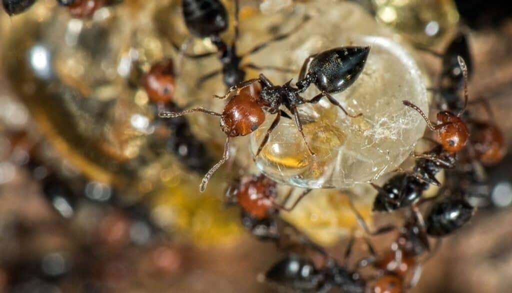 False honey ants - House bugs in winter