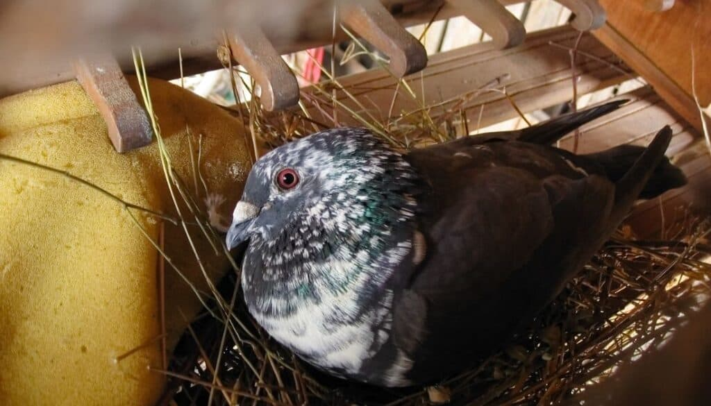 Fowl mites hide in pigeons and pigeon nests