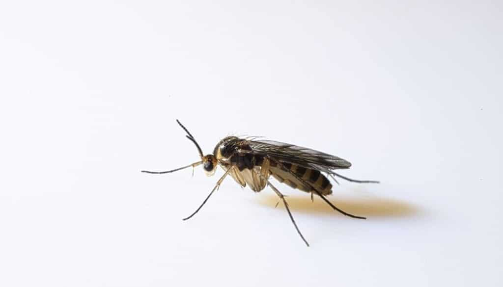Fungus gnats - tiny black bugs in houses near windows