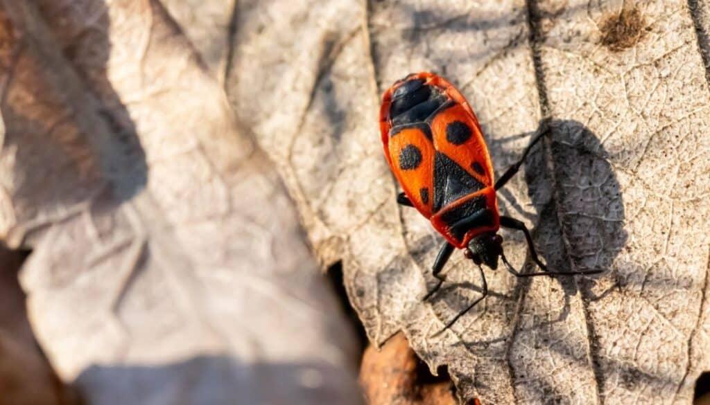 Milkweed bugs red and black bugs in Arizona