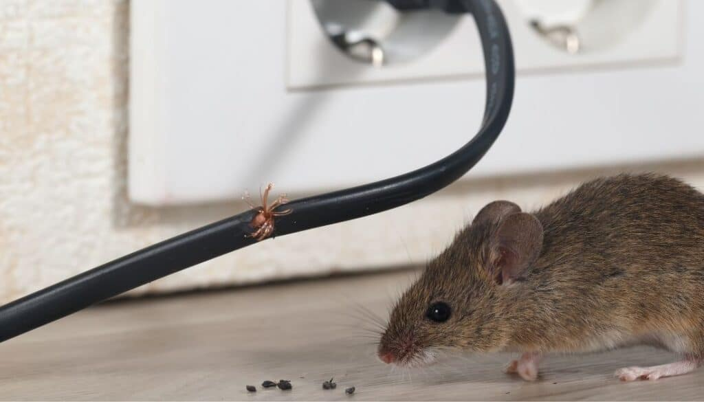 Mouse in home causes house mouse mites