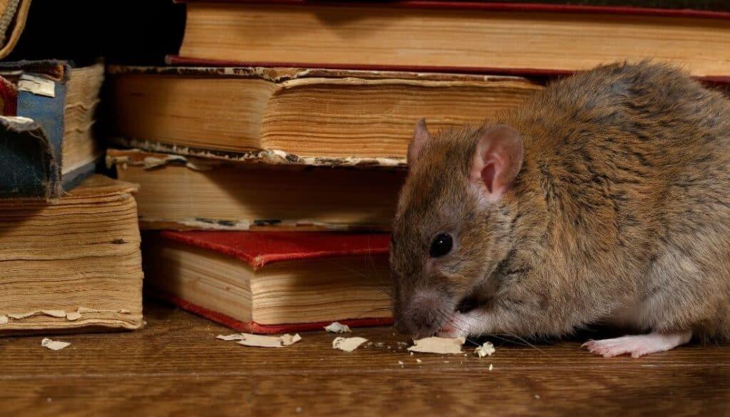 Rat gnaw marks