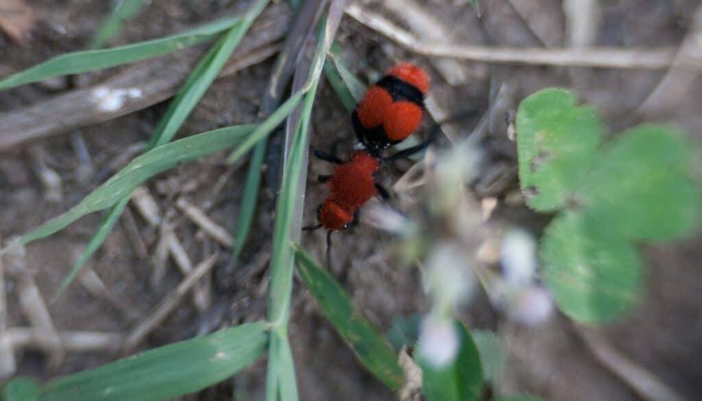Red and black velvet ants in Arizona