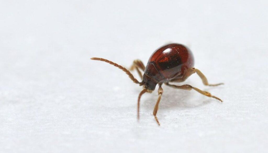 Spider Beetles - Tiny bugs in bed that are not bed bugs