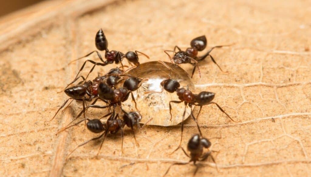 Acrobat Ants in house