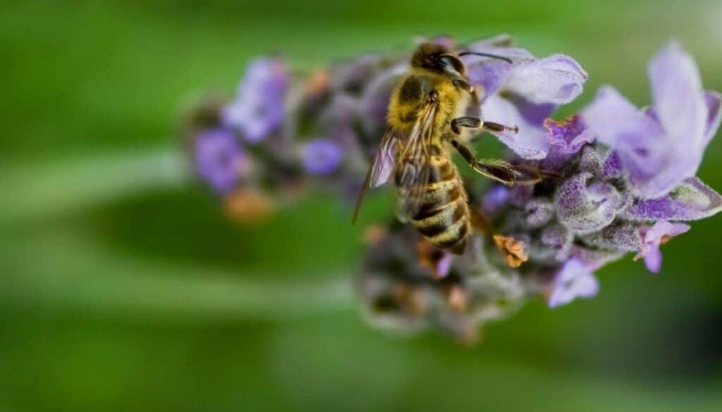 Africanized bee - Arizona bugs that bite