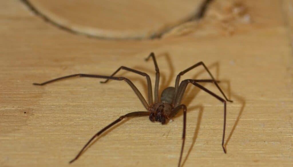 Arizona brown spider
